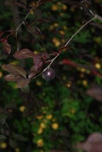cherry_plum